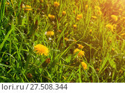 Купить «Spring landscape - blooming flowers of dandelion under the tree in the spring forest», фото № 27508344, снято 26 мая 2017 г. (c) Зезелина Марина / Фотобанк Лори