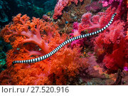 Купить «RF - Banded sea snake (Laticauda colubrina) swimming over coral reef.  Cebu, Malapascua Island, Philippines.», фото № 27520916, снято 14 августа 2018 г. (c) Nature Picture Library / Фотобанк Лори