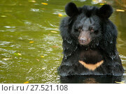 RF - Moon bear (Ursus thibetanus) swimming in Animals Asia Bear Sanctuary after being rescued from a bear bile farm. Bile is extracted from their liver... Стоковое фото, фотограф Inaki  Relanzon / Nature Picture Library / Фотобанк Лори
