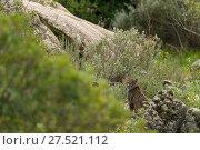 Купить «RF - Iberian lynx (Lynx pardinus) in Sierra Morena, Andalusia, Spain, January.», фото № 27521112, снято 24 февраля 2018 г. (c) Nature Picture Library / Фотобанк Лори