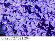 Купить «Spring lilac flowers blooming in the garden, spring flower background», фото № 27521204, снято 15 июня 2017 г. (c) Зезелина Марина / Фотобанк Лори