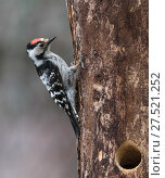 Купить «Lesser spotted woodpecker (Dendrocopos minor), male at nest hole, Finland, June.», фото № 27521252, снято 20 февраля 2018 г. (c) Nature Picture Library / Фотобанк Лори