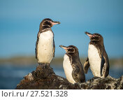 Купить «Galapagos penguin (Spheniscus mendiculus) Isla Tortuga, Isabela Island, Galapagos», фото № 27521328, снято 16 августа 2018 г. (c) Nature Picture Library / Фотобанк Лори