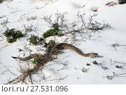 Купить «Eastern diamondback rattlesnake with sticking out tongue. St George Island State Park, Florida, USA», фото № 27531096, снято 24 декабря 2017 г. (c) Ирина Кожемякина / Фотобанк Лори