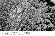 Купить «Branches of birch and spruce are covered with snow», видеоролик № 27535100, снято 31 января 2018 г. (c) Володина Ольга / Фотобанк Лори