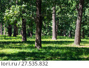 Купить «Oak trees in summer green grassy park», фото № 27535832, снято 30 июля 2017 г. (c) Юрий Брыкайло / Фотобанк Лори