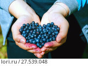 Купить «Berries wild blueberries in his hands», фото № 27539048, снято 23 июля 2017 г. (c) Алексей Маринченко / Фотобанк Лори