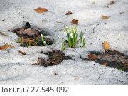 Цветы подснежники. Стоковое фото, фотограф Инесса Гаварс / Фотобанк Лори