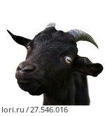 Купить «Смешной черный козленок крупным планом, изолировано на белом фоне», фото № 27546016, снято 18 сентября 2019 г. (c) Екатерина Овсянникова / Фотобанк Лори