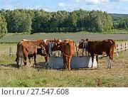 Dairy cows of breed Ayshire.  Aland Islands, Finland. Стоковое фото, фотограф Валерия Попова / Фотобанк Лори