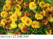 Купить «Оранжевые хризантемы цветут в саду», фото № 27548504, снято 20 августа 2017 г. (c) Елена Коромыслова / Фотобанк Лори