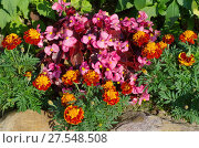 Купить «Бегония вечноцветущая (лат. Begonia semperflorens) и бархатцы (лат. Tagetes) на клумбе в саду», фото № 27548508, снято 20 августа 2017 г. (c) Елена Коромыслова / Фотобанк Лори