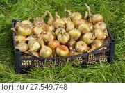 Купить «Урожай репчатого лука в ящике на траве», фото № 27549748, снято 21 августа 2017 г. (c) Елена Коромыслова / Фотобанк Лори