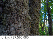 Купить «Nature, old and ancient chestnut forest in the province of Zamora, Spain. Trees over 500 years», фото № 27560080, снято 21 января 2019 г. (c) easy Fotostock / Фотобанк Лори