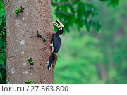 Купить «Oriental pied hornbill (Anthracoceros albirostris) on fruiting tree, Yingjiang County, Dehong Prefecture, Yunnan Province, China.», фото № 27563800, снято 23 июля 2019 г. (c) Nature Picture Library / Фотобанк Лори