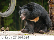 Moon bear (Ursus thibetanus) in Animals Asia Bear Sanctuary after being rescued from a bear bile farm. Captive, China. September. Стоковое фото, фотограф Inaki  Relanzon / Nature Picture Library / Фотобанк Лори