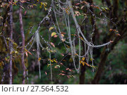 Купить «Lichens on autumn trees, in humid montane mixed forest, Laba He National Nature Reserve, Sichuan, China», фото № 27564532, снято 24 мая 2018 г. (c) Nature Picture Library / Фотобанк Лори