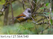 Купить «Grey-hooded fulvetta (Fulvetta cinereiceps) montane mixed forest, Laba He National Nature Reserve, Sichuan, China», фото № 27564540, снято 27 марта 2019 г. (c) Nature Picture Library / Фотобанк Лори