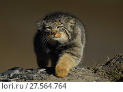 Pallas's cat (Otocolobus manul) walking, Tibetan Plateau, Qinghai, China. Стоковое фото, фотограф Staffan Widstrand / Nature Picture Library / Фотобанк Лори