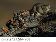Pallas's cat (Otocolobus manul) Tibetan Plateau, Qinghai, China. Highly commended in the MontPhoto Competition 2018. Редакционное фото, фотограф Staffan Widstrand / Nature Picture Library / Фотобанк Лори