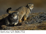 Pallas's cat (Otocolobus manul) two cats resting, Tibetan Plateau, Qinghai, China. Стоковое фото, фотограф Staffan Widstrand / Nature Picture Library / Фотобанк Лори