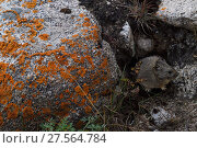 Купить «Gansu pika (Ochotona cansus), endemic to China, Tibetan Plateau, Qinghai, China», фото № 27564784, снято 19 января 2019 г. (c) Nature Picture Library / Фотобанк Лори