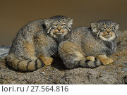 Купить «Pallas's cat (Otocolobus manul) two sitting side by side, Tibetan Plateau, Qinghai, China», фото № 27564816, снято 22 марта 2019 г. (c) Nature Picture Library / Фотобанк Лори