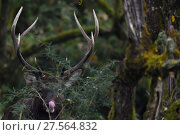 Купить «Red deer stag (Cervus elaphus) humid montane mixed forest, Laba He National Nature Reserve, Sichuan, China», фото № 27564832, снято 22 марта 2019 г. (c) Nature Picture Library / Фотобанк Лори