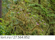 Купить «Moss draped over flowering Rhododendron, Jedediah Smith Redwoods State Park, California, USA. June 2017.», фото № 27564852, снято 22 мая 2018 г. (c) Nature Picture Library / Фотобанк Лори