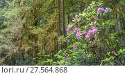 Купить «Moss-covered branches and flowering Rhododendron, Jedediah Smith Redwoods State Park, California, USA. June 2017.», фото № 27564868, снято 19 февраля 2018 г. (c) Nature Picture Library / Фотобанк Лори