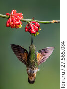 Купить «Buff-tailed coronet (Boissonneaua flavescens) drinking nectar from a flower. Mindo, Pichincha, Ecuador.», фото № 27565084, снято 20 июня 2018 г. (c) Nature Picture Library / Фотобанк Лори