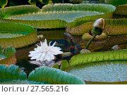 Купить «Виктория Амазонская - Victoria amazonica», фото № 27565216, снято 6 июля 2017 г. (c) Татьяна Белова / Фотобанк Лори