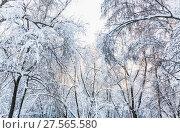 Купить «Кроны деревьев в снегу», фото № 27565580, снято 31 января 2018 г. (c) Алёшина Оксана / Фотобанк Лори