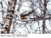 Купить «Дрозд рябинник (Turdus pilaris), сидящий на ветке боярышника», фото № 27565620, снято 6 февраля 2018 г. (c) Алёшина Оксана / Фотобанк Лори