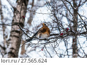 Купить «Дрозд рябинник (Turdus pilaris), сидящий на ветке боярышника», фото № 27565624, снято 6 февраля 2018 г. (c) Алёшина Оксана / Фотобанк Лори