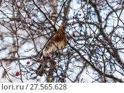 Купить «Дрозд рябинник (Turdus pilaris), сидящий на ветке боярышника», фото № 27565628, снято 6 февраля 2018 г. (c) Алёшина Оксана / Фотобанк Лори