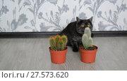 Купить «Cat sniffing a cactus standing on floor in room», видеоролик № 27573620, снято 3 февраля 2018 г. (c) Володина Ольга / Фотобанк Лори