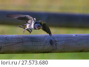Купить «Barn swallow (Hirundo rustica) fledgling taking off from fence whilst learning to hunt, Monmouthshire, Wales, UK, July.», фото № 27573680, снято 15 августа 2018 г. (c) Nature Picture Library / Фотобанк Лори