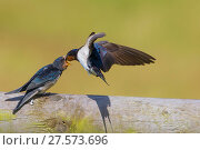 Купить «Barn swallow (Hirundo rustica) parent feeding fledgling, Monmouthshire Wales, UK, July.», фото № 27573696, снято 16 августа 2018 г. (c) Nature Picture Library / Фотобанк Лори