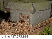 Купить «Hedgehog (Erinaceus europaeus) emerging from a hedgehog house in a suburban garden at night, Chippenham, Wiltshire, UK, August.  Taken with a remote camera trap.», фото № 27573924, снято 21 июля 2018 г. (c) Nature Picture Library / Фотобанк Лори