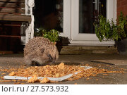 Купить «Hedgehog (Erinaceus europaeus) feeding on mealworms and oatmeal left out on a patio, Chippenham, Wiltshire, UK, August.  Taken with a remote camera. Property released.», фото № 27573932, снято 21 июля 2018 г. (c) Nature Picture Library / Фотобанк Лори