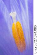 Купить «Crocus flower (Crocus sp) close up of stigma and pistil.», фото № 27574080, снято 15 августа 2018 г. (c) Nature Picture Library / Фотобанк Лори