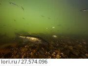 Купить «Pike-perch (Sander lucioperca) Tarn river, France, June.», фото № 27574096, снято 25 марта 2019 г. (c) Nature Picture Library / Фотобанк Лори