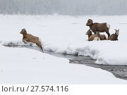 Купить «Rocky mountain bighorn sheep (Ovis canadensis) lamb leaping across a stream, as the rest of the herd watches, Jasper National Park, Alberta, Canada. December.», фото № 27574116, снято 22 августа 2018 г. (c) Nature Picture Library / Фотобанк Лори