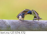 Купить «Barn swallow (Hirundo rustica) adult feeding fledgling, Monmouthshire, Wales, UK, July.», фото № 27574172, снято 16 августа 2018 г. (c) Nature Picture Library / Фотобанк Лори