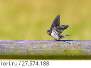 Купить «Barn swallow (Hirundo rustica) fledgling begging for food, Monmouthshire, Wales, UK, July.», фото № 27574188, снято 16 августа 2018 г. (c) Nature Picture Library / Фотобанк Лори