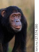 Купить «Eastern chimpanzee (Pan troglodytes schweinfurtheii) adolescent male 'Sinbad' aged 12 years portrait . Gombe National Park, Tanzania.», фото № 27574380, снято 28 января 2020 г. (c) Nature Picture Library / Фотобанк Лори