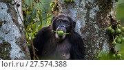 Купить «Eastern chimpanzee (Pan troglodytes schweinfurtheii) female 'Dilly' aged 27 years feeding on figs . Gombe National Park, Tanzania.», фото № 27574388, снято 28 января 2020 г. (c) Nature Picture Library / Фотобанк Лори