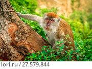 Купить «Indonesian Macaque monkey», фото № 27579844, снято 21 июля 2019 г. (c) easy Fotostock / Фотобанк Лори