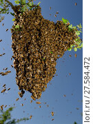 Купить «Honey bee (Apis mellifera) swarm. Kiel Germany, June», фото № 27584472, снято 22 июля 2018 г. (c) Nature Picture Library / Фотобанк Лори